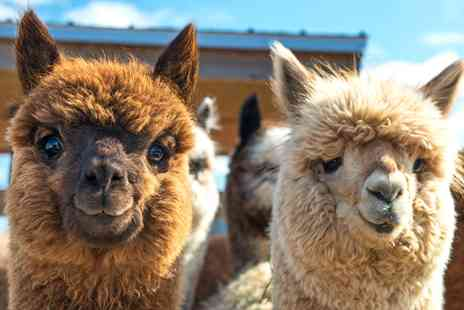 Alpaca Annie - Highly rated alpaca walk for Two - Save 58%