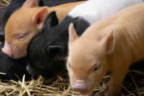 Kew Little Pigs - Pet and Play for Up to Four or Pig Enthusiast Experience for One or Two - Save 47%