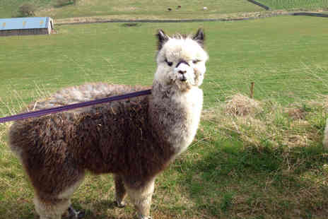 Beirhope Alpacas - 30 minute alpaca experience with a meet and greet and 30 minute trek around the farm for two people - Save 30%