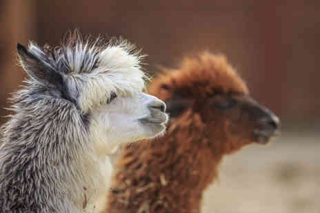 Charnwood Forest - Alpaca trek and sparkling afternoon tea for two people - Save 60%