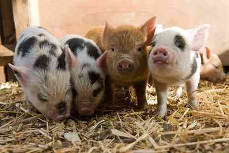 Kew Little Pigs - Piggy pet and play experience for one - Save 47%