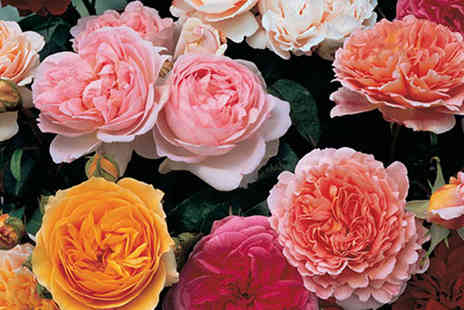 Blooming Direct - Five bare roots old English shrub rose collection - Save 48%