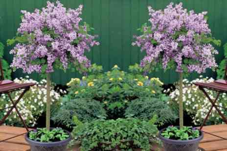 Groupon Good - Scented Hardy Dwarf Lilac Standard Tree Choose from 1 or 2 Plants in 2 litre Pot - Save 46%