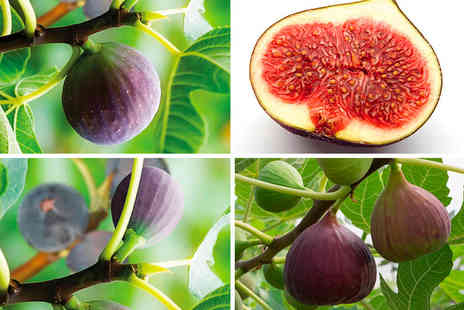 Blooming Direct - Brown Turkey potted fig plant fig plants - Save 0%