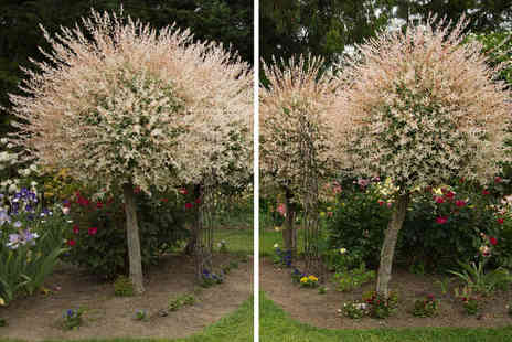 Blooming Direct - Flamingo willow tree - Save 0%