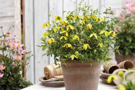 Groupon Good - Clematis Little Lemons Up to 3 Plants - Save 43%