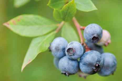 Groupon Good - One Blueberry Duke, Bluecrop or Ellot Plant or All Season Duo Collection - Save 40%