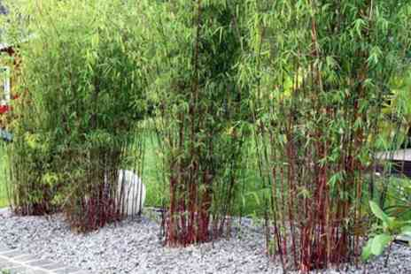 Groupon Goods Global GmbH - Three or Six Red Bamboo Plants - Save 0%