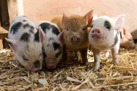 Kew Little Pigs - Pig pet and play experience for one - Save 0%