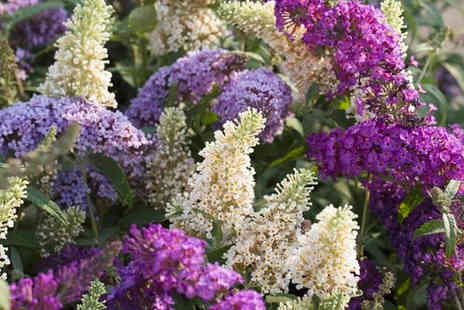 Gardening Express - Single Buddleia tricolour butterfly bush - Save 0%