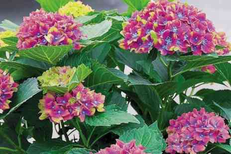 Groupon Goods Global GmbH - Hydrangea Macrophylla Glam Rock Plants - Save 46%