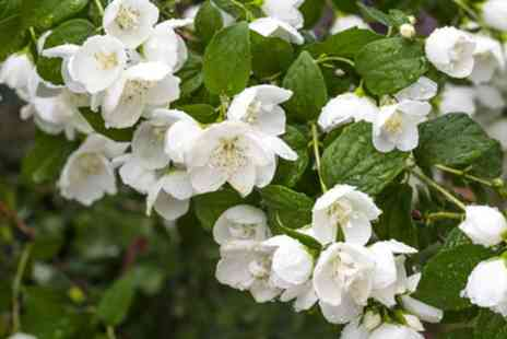 Groupon Good - Scented Mock Orange Philadelphus Belle Etoile - Save 46%