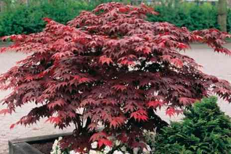 Groupon Goods Global GmbH - Acer Palmatum Collection Up to 6 Plants with Optional Patio Pots - Save 60%