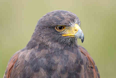 Adventure 001 - Three hour falconry experience for one - Save 0%