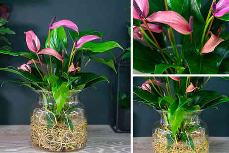 Thompson & Morgan - One potted anthurium aqua pink plant - Save 33%