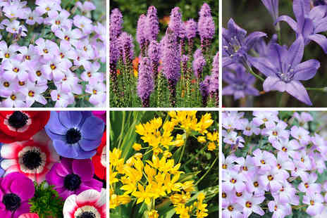Thompson & Morgan - 100 days of flowering bulb collection - Save 0%