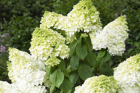Thompson & Morgan - One Hydrangea Paniculata Magical Moonlight plant - Save 46%