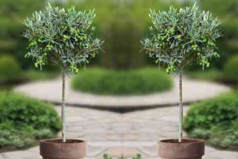 Groupon Goods Global GmbH - One or Two Winter Hardy Olive Trees - Save 0%