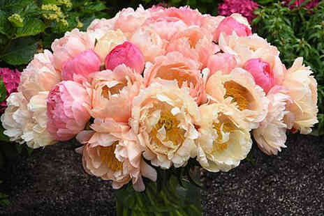 Thompson & Morgan - One Peony Coral Sunset plant - Save 38%