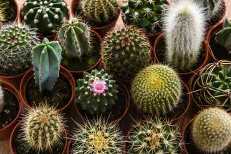 Groupon Goods Global GmbH - Mini Cactus Collection of Three, Five or Ten Plants - Save 31%