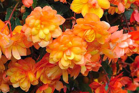 Thompson & Morgan - Five Begonia Apricot Shades Improved F1 hybrid tubers - Save 50%