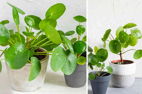 Thompson & Morgan - One Pilea Chinese money plant - Save 0%