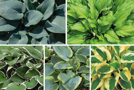 Thompson & Morgan - Five pack Hosta plantain lily collection - Save 36%