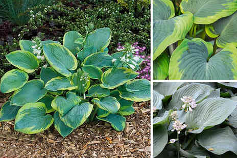 Thompson & Morgan - Three plant hosta giant leaved plantain lily mix - Save 42%