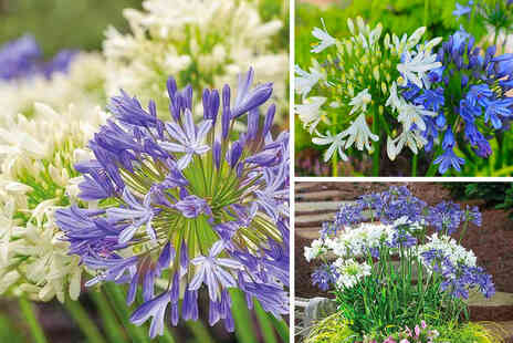 Thompson & Morgan - Six agapanthus blue and white bare root plants - Save 53%