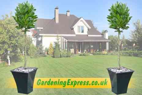 GardeningExpress.co.uk - Two Topiary Plaited Stem Bay Trees With Decorative Planters - Save 50%