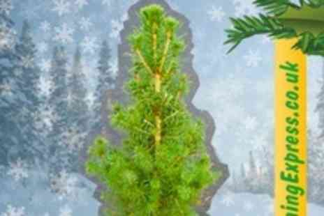 GardeningExpress.co.uk - Real Mini Christmas Tree - Save 69%