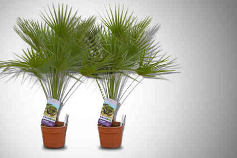 Gardeners Market - A pair of indoor or outdoor palm trees in 2.5 litre pots - Save 50%