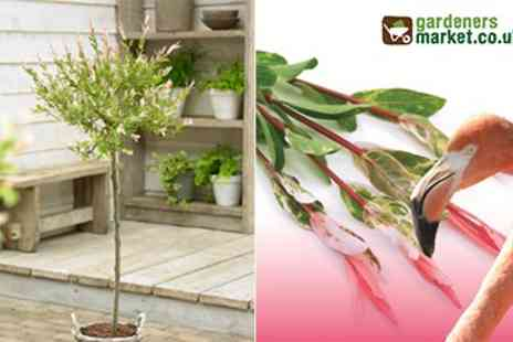 The Gardeners Market - A Pair of Potted Salix Flamingo Trees - Save 50%