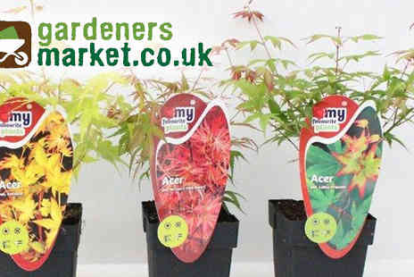 Gardeners Market -Acer Japanese Maple trees - Save 50%