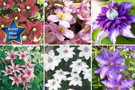 GardenersMarket.co.uk - Beautiful Clematis plant collection featuring six one litre potted plants - Save 67%