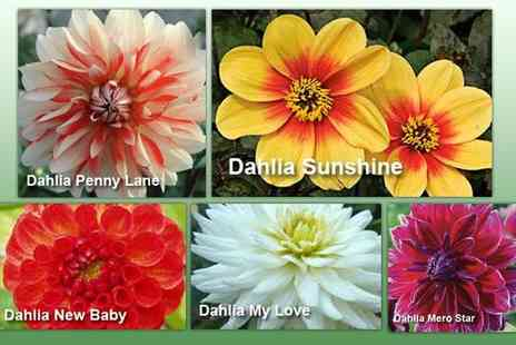 GardenersMarket.co.uk - Ultimate garden dahlia plant collection - Save 62%