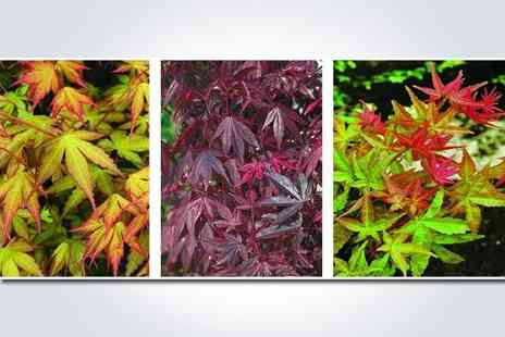 GardenersMarket.co.uk - Japanese maple collection, containing three acer plants - Save 50%