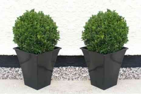 Gardening Express UK - Pair of Evergreen Buxus Topiary Spheres or Pyramids with Planters - Save 61%
