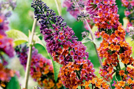 Gardeners Market - Pair of Buddleia Plants - Save 50%