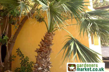 Gardeners Market - Pair of Washingtonia filifera Palm Trees - Save 50%