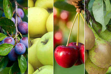 Gardeners Market - Mini Orchard Collection Conference Pear Morello Cherry Golden Delicious and Victoria Plum MiniTrees - Save 64%