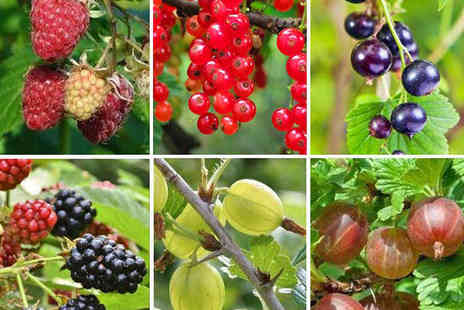 Gardeners Market - Six Fruit Bushes - Save 50%