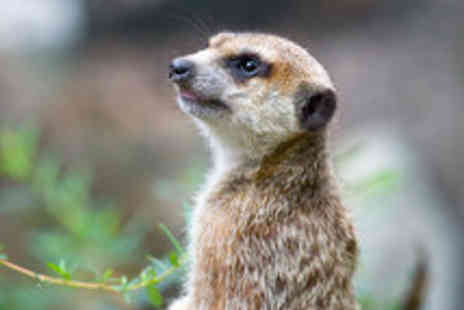 The Animal Experience - 30 Minute Meet The Meerkats Experience - Save 50%