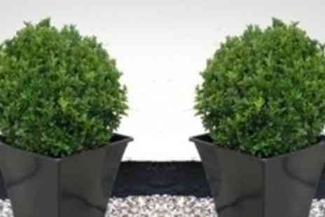 GardeningExpress.co.uk - Two Pairs of Premium Topiary Buxus Balls With Planters - Save 57%