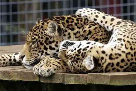 South Lakes Safari Zoo - Big Cat Experience and Gift Pack  - Save 34%