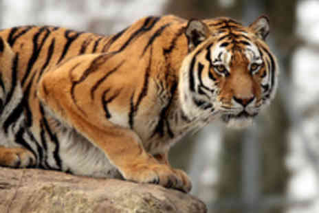 Dartmoor Zoo - A Choice of  Big Cat Keeper or Meet The Tigers Experiences for Two  - Save 50%