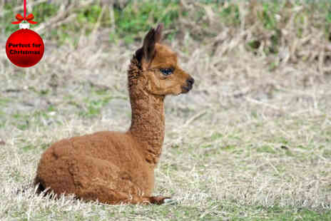 Alpaca Annie - Two hour alpaca trekking experience for Two - Save 52%