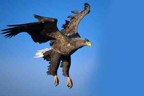 Birds of Prey Centre - Three Hour Ultimate Eagle Experience for One - Save 76%