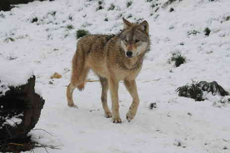 The Anglian Wolf Society - Three hour wolf encounter experience for one - Save 46%