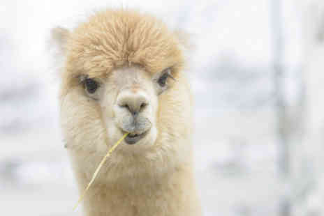 Charnwood Forest Alpacas -  90 minute walking with alpacas experience for two - Save 49%